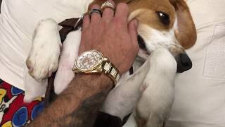 Download Beagle Puppies Sleeping Like A Baby :D Video