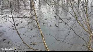 Download Feeder Shore Welcomes Mallards and American Black Ducks - Dec. 8, 2016 Video