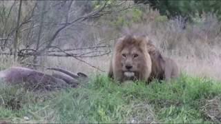 Download TOP 5 Scariest Animals Charging Video