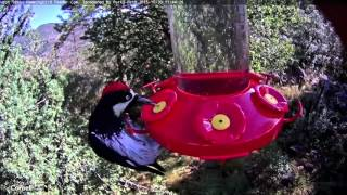 Download Acorn Woodpecker on the Feeder, October 30, 2015 Video