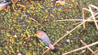 Download caza de Patos con Dario y Tata! Video