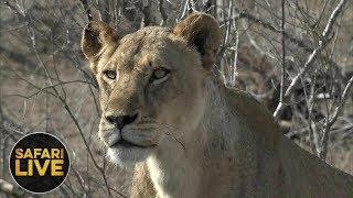 Download safariLIVE - Sunrise Safari - October 23, 2018 Video