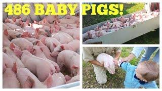 Download 486 Baby Pigs! Hog Farm Life Video