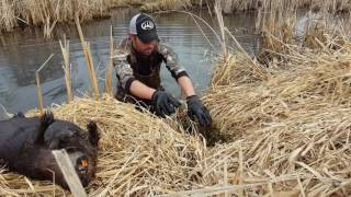 Download Basic Beaver Trapping ″Castor Set with Conibears″ Video