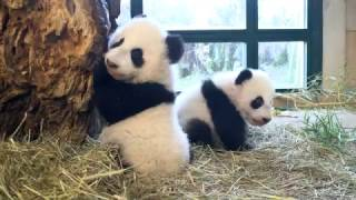 Download Panda Twins Weighing 4,5 months old Video