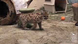 Download CMZoo Mountain Lion Cubs Update 6.14.19 Video