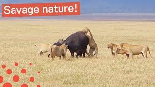 Download Lion Pride Eat Buffalo Alive Video