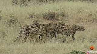 Download 4 Cheetahs against 1 Video