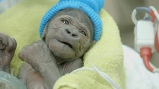 Download Baby gorilla with collapsed lung recovers after bout of pneumonia Video