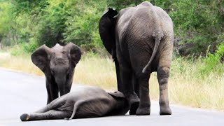 Download Herd of Elephants Help an Elephant Calf After Collapsing in the Road Video