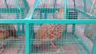 Download Beautiful Dakhni teetar 00923459442750 Zain Ali farming in Pakistan Video