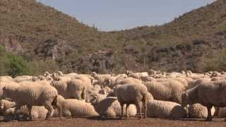 Download Sheep Special - America's Heartland: Episode 911 Video