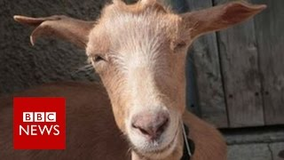 Download Turning goats into water: A solution for the desert - BBC News Video