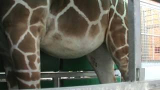 Download Pregnant Giraffe Trains for Sonogram Video