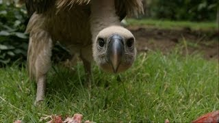 Download Feeding a Vulture - Vultures: Beauty in the Beast - Natural World - BBC Two Video