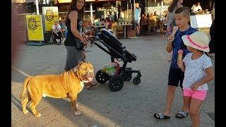 Download How people react when a 150 lbs Pitbull walking through at Scheveningen boulevard Video