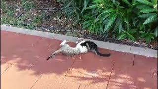 Download Adorable kittens playing together | Too Cute Video
