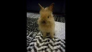 Download Królik miniaturka - jak to z tymi królikami jest ? Video