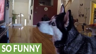 Download Siberian Husky completely fascinated by wildlife videos Video
