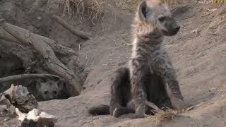 Download Safari Live : Hyena Cubs out at the Hyena Den this morning with Tristan July 11, 2017 Video