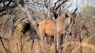 Download Lord Derby Eland - Cameroon Video