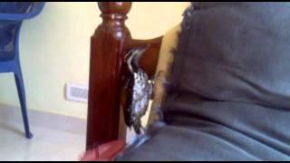 Download My pet wood pecker Video
