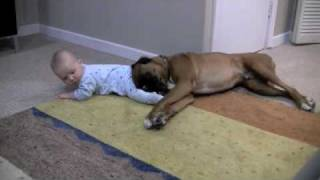 Download Linus the Boxer loves his baby Video