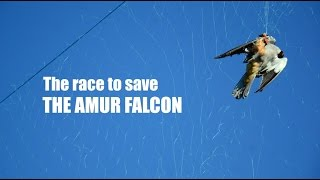 Download The Race to Save the Amur Falcon Video