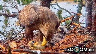 Download Goose Chick still ALIVE when Eagle's start eating it Video