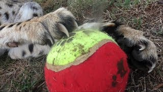 Download Cheetahs Like To Play Soccer Too | Africa Big Cats Score A Game Of Football Rugby For Fun Video