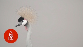 Download An Elegant Crowned Crane on the Edge Video