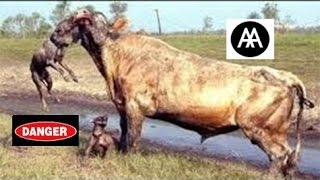 Download Incredible Fight Between Animals HD ينصح عدم مشاهدته لذوي القلوب الضعيفة قتال شرس بين الحيوانات Video