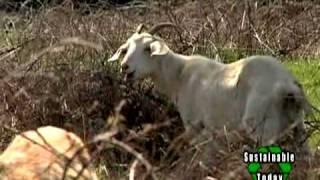 Download Goats Eradicate Invasive Plants Naturally Video