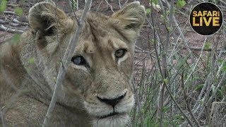 Download safariLIVE - Sunrise Safari - December 11, 2018 Video