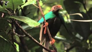 Download Standardwing Bird-of-Paradise Video