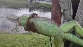 Download 2018 Super Bowl iguana hunt with cast net! 6 foot dinosaur caught! herping Video