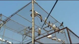 Download pakistani high flying pigeon part 4 Video