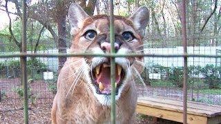 Download Cougar Talk... Video
