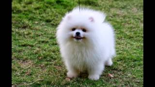 Download TOP 15 CUTEST DOG BREEDS Video
