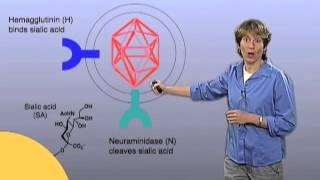 Download Influenza Virus Infection - Carolyn Bertozzi (Berkeley/HHMI) Video