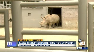 Download Saving the Northern White Rhino from extinction Video