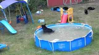 Download A bear family takes a dip in our pool - Part III Video