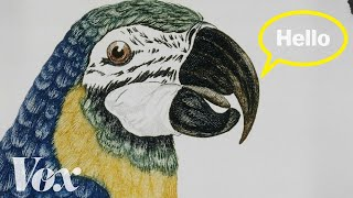 Download Why parrots can talk like humans Video