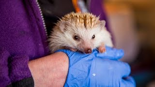 Download Animal Lover Turns Home Into Hedgehog Hospital: CUTE AS FLUFF Video