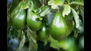 Download Sembrando arboles de aguacates en mi patio. Video # 3 Video