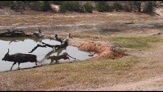 Download Djuma: Hosana male leopard makes an attempt on Nyala bull - 08/23/18 Video