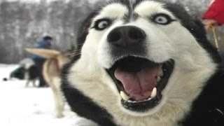 Download Husky Dogs And Puppies - A Funny Videos And Cute Videos Compilation 2016 Video