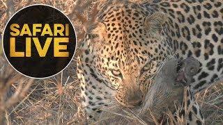 Download safariLIVE - Sunrise Safari - 2018, 23. June Video