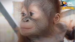 Download 4 INCREDIBLE Orangutan Rescues That Will Change Your Life | The Dodo Showcase Video