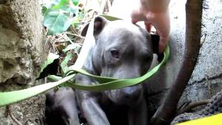 Download The Very Touching Rescue of a Pit Bull Living in a Ditch Video